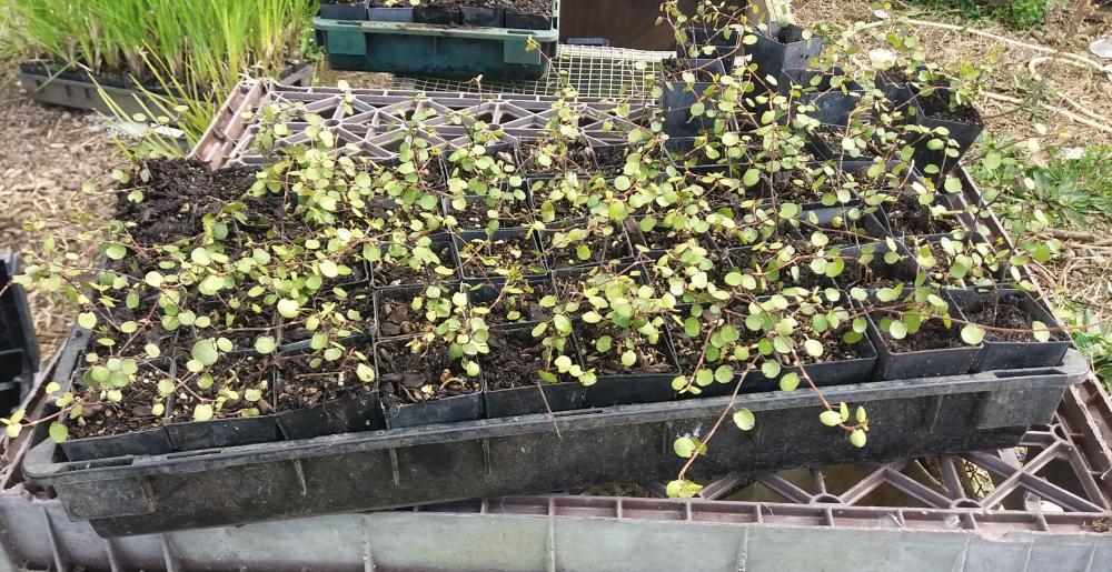Muehlenbeckia complexa - Scrambling Pohuehue