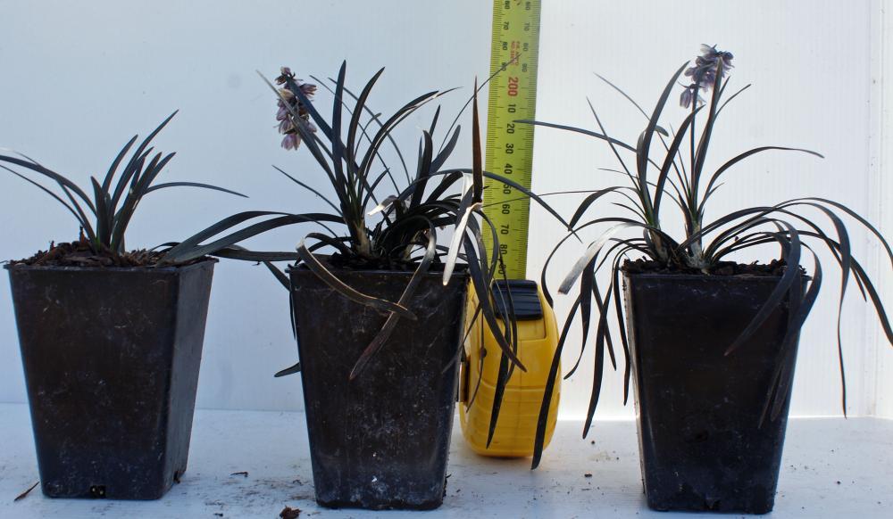 Ophiopogon planiscapus Black Dragon